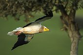 Egyptian Vulture in flight - Alcudia Valley Spain