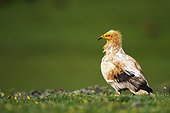Egyptian Vulture on ground - Alcudia Valley Spain