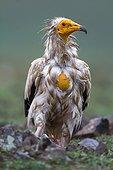 Egyptian Vulture under the rain - Alcudia Valley Spain