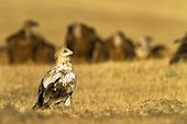 Egyptian Vulture and Vultures - Alcudia Valley Spain