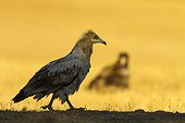Egyptian Vulture and Vulture - Alcudia Valley Spain