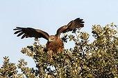 Black Kite on a branch - Alcudia Valley Spain