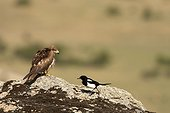 Black Kite and Black-billed Magpie on ground - Spain