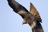 Red Kite in flight - Alcudia Valley Spain