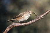 Spotted Flycatcher on a branch - Ciudad Real Spain