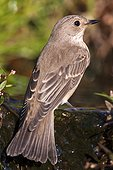 Spotted Flycatcher in water - Ciudad Real Spain