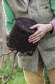 Plantation of a shrub with an earthworm