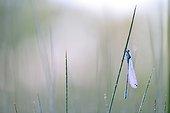 Agrion sur une tige à l'aube - Prairies du Fouzon France