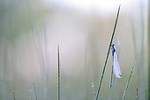 Damselfly on a stem at dawn - Prairie Fouzon France