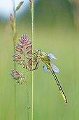Clubtail on a stem at dawn - Prairie Fouzon France