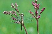 Clubtail on flowers - Prairie Fouzon France