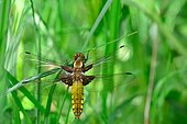Emergence of Eurasian Red Dragonfly - Fouzon Prairie France