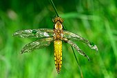 Emergence of Eurasian Red Dragonfly - Fouzon Prairie France ; problem on wings