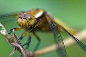 Emergence of Eurasian Red Dragonfly - Fouzon Prairie France ; an eye problem