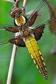 Eurasian Red Dragonfly on stem - Fouzon Prairie France