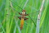 Eurasian Red Dragonfly on rush - Fouzon Prairie France