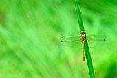 Dragonfly on rush - Fouzon Prairie France