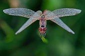 Dragonfly on a stem at dawn - Fouzon Prairie France