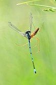 Spider capturing a Damselfly - France Fouzon Prairie