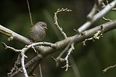 Dunnock on a branch - Belgium
