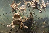 Common toad and her eggs in a lake - France