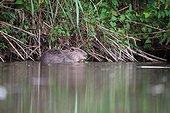 European Beaver eating on the bank- France