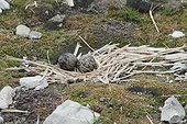 Arctic tern eggs on nest  - Spitsbergen
