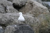 Ivory Gull on the shore - Spitsbergen