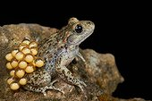 Male midwife toad and his laying on a black background