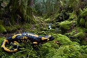 Spotted salamander in damp undergrowth - France