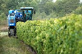 Mechanical harvest in the vineyards - Island Oleron France ; Most of the 700 hectares of vineyards are located in the north of the island