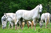 Lipizzaner horses in meadow - Slovenia Lipica National Stud  ; Slovenia is the place were the Lipizzan race is born thanks to some mating with various other races for the equestrian school of Vienna during the XVIIIe century.