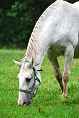 Lipizzaner horse in meadow - Slovenia Lipica National Stud  ; Slovenia is the place were the Lipizzan race is born thanks to some mating with various other races for the equestrian school of Vienna during the XVIIIe century.
