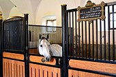 Lipizzaner horse in stall - Slovenia Lipica National Stud  ; Slovenia is the place were the Lipizzan race is born thanks to some mating with various other races for the equestrian school of Vienna during the XVIIIe century.