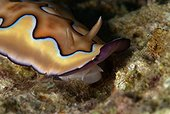 Magnifiscent nudibranch - Cabilao Philippines ; Moves by lifting his coat, leaving the foot discover