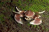 Crabe porcelaine des anémones - Bohol Philippines