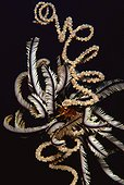 Variable Bushy Feather Star Spiral Wire Coral - Bohol