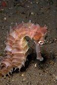 Hippocampe hérissé - Negros Philippines