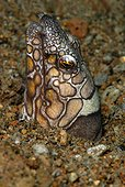 Portrait of Napoleon Snake Eel - Negros Philippines