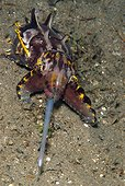 Flaboyant Cuttlefish - Negros Philippines