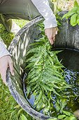 Making of fern manure in a garden