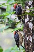 Black-cheeked Woodpeckers under the rain - Costa Rica ; Top male, female bottom