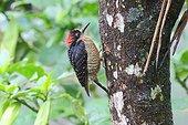 Black-cheeked Woodpecker under the rain - Costa Rica