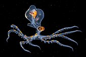 Juvenile Octopus on black background - Tahiti French Polynesia ; bbc contest finals