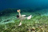 Cormorant underwater - Menorca Balear Mediterranean sea