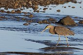 Bare-throated Tiger Heron on the foreshore - Costa Rica