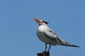 Royal Tern on a pole - Costa Rica