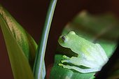 Glass frog on a leaf - Costa Rica