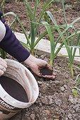 Adding dried blood fertilier on leeks ina kitchen garden