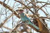 Lilac-breasted Roller on a branch - Ethiopia